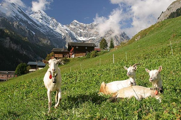 goats-Gimmelwald-Switzerland-main-1