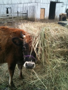 hay cattle d