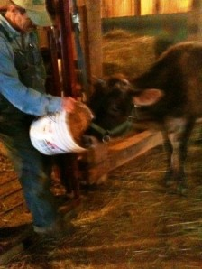 milk cow 2c