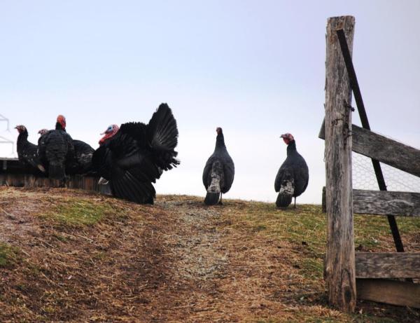 free ranging turkeysa