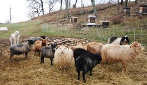 sheep Icelanda
