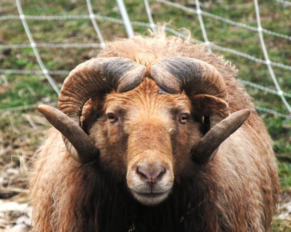 sheep Icelandd