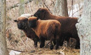 sheep southdowna
