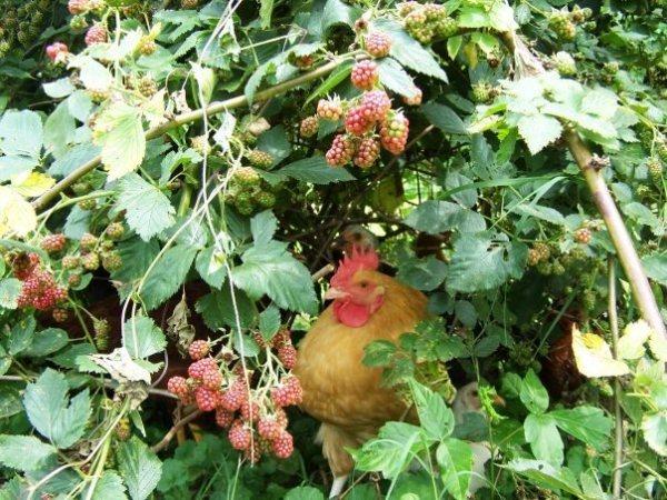 Mr Muffin in the blackberries