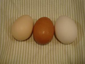 rhode island red egg color