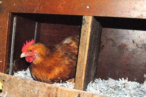 chicken house layer